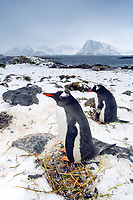 South Georgia Island, Prion Island, Gentoo penguins (Pygoscelis papua) building nests