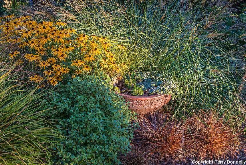 Vashon-Maury Island, WA: Summer perennial garden with blooming Rudbeckia fulgida 'Goldsturm', and Pheasant's-tail grass (Anemanthele lessoniana)