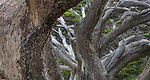 USA, California, Monterey, abstract, Monterey cypress (Cupressus macrocarpa)