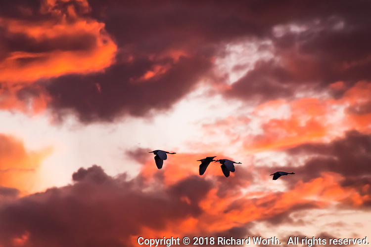 Four egrets fly through a glowing sky as sunset paints the sky shades of orange at the San Leandro Marina on San Francisco Bay.