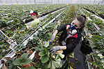 Foto: VidiPhoto<br /> <br /> BEMMEL – Herfstgevoel in de lente, woensdag, althans in de aardbeienkassen van teler Royal Berry in het kassengebied Next Garden (Bergerden) in Bemmel. Met 30 man en vrouw Pools personeel wordt vanaf woensdag tot en met eind volgende week het oude blad aan de planten afgeknipt, verwijderd en gecomposteerd. Op twee locaties van achtereenvolgens 6,6 en 11 ha. worden 1,7 miljoen aardbeienplantjes met een handschaartje ontdaan van het herfstblad. De planten hebben tot 1 januari nog vrucht gedragen en daarna in een koude kas winterrust gehad. Nu de boel flink wordt opgestookt, krijgen ze over twee weken de eerste bloesem en kunnen begin april de eerste aardbeien geoogst worden. Het oude blad wordt verwijderd zodat de plant alle energie gebruikt voor de vrucht en het jonge blad. In totaal wordt 200 ton blad verwerkt tot compost.