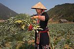 Black Hmong woman harvesting artichokes, Sapa, Vietnam