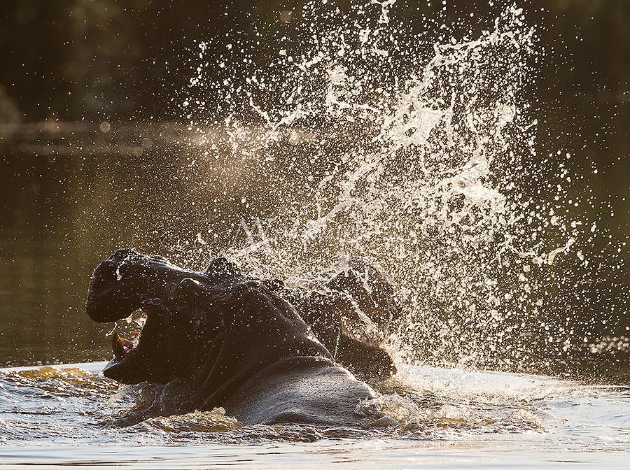 Hippos battle in Kruger National Park.