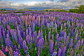 Flowering lupins cover the shingle banks of the Ahuriri river near Omarama, Waitaki District, Canterbury, South Island, New Zealand.