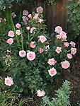 Paul Shirville Rose bush, Rosa hybrid
