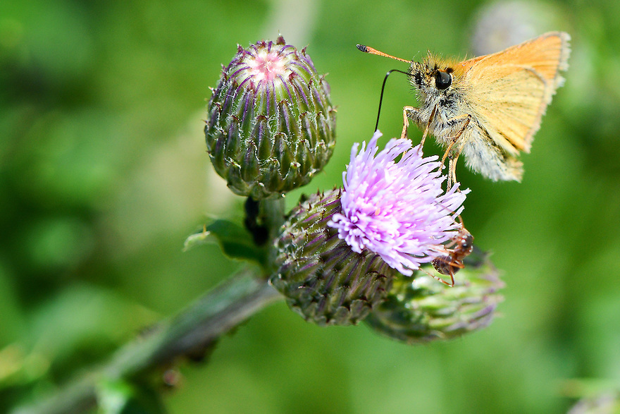 Canada thistle is found widely in areas disturbed by humans. It is native to Europe, but has spread through southwest Montana.