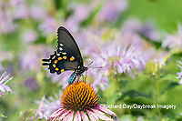 03004-01613 Pipevine Swallowtail (Battus philenor) on Purple Coneflower (Echinacea purpurea) Marion Co. IL