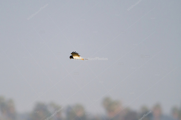 A Pied Harrier male (Circus melanoleucos) cruises over a field in search of prey. (Cambodia)