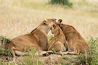 A female Lion, Panthera leo  melanochaita, grooms her two cubs in Maasai Mara National Reserve, Kenya
