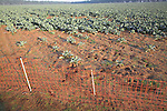 Field of cauliflower crop in East Anglia, Butley, Suffolk, England with rabbit fencing