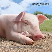CHIARA,REALISTIC ANIMALS, REALISTISCHE TIERE, ANIMALES REALISTICOS, paintings+++++,USLGCHI577,#A#, EVERYDAY ,photos
