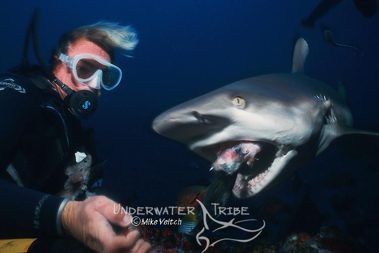 A diver handfeeds a Grey Reef Shark, Carcharhinus amblyrhynchos, Apataki Atoll, Tuamotus, French Polynesia, Pacific Ocean