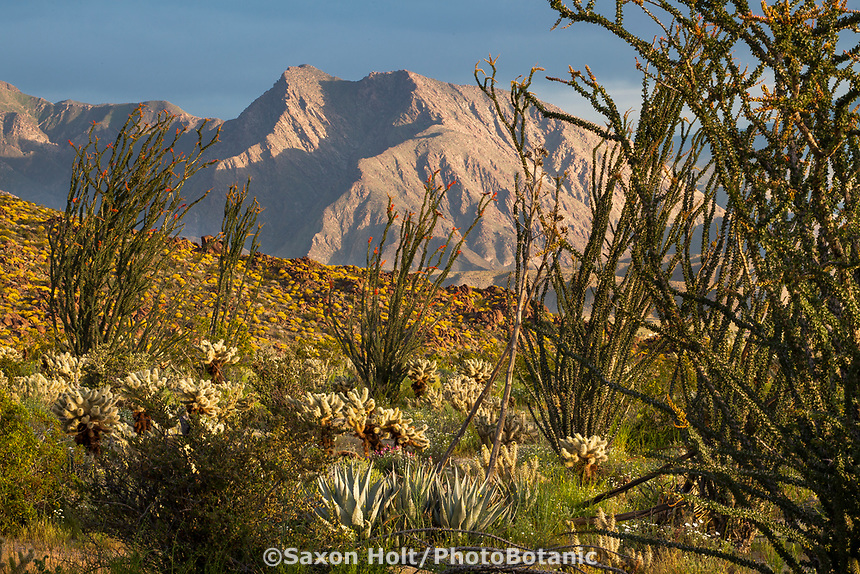 Fouquieria splendens, Ocotillo and cactus in Sonoran Desert at Anza Borrego California State Park with Coyote Mountain