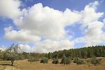 Israel, Shephelah, Olive grove in Lahav Forest