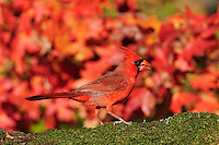 Northern Cardinal (Cardinalis cardinalis),  adult on autumn leaves of Bigtooth Maple (Acer grandidentatum), Hill Country, Central Texas, USA