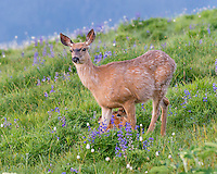 Columbian black-tailed deer (Odocoileus hemionus columbianus) doe and fawn in subalpine meadow surrounded by wildflowers--lupine and bistort.  Pacific Northwest.  Summer.