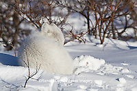 01863-01205 Arctic Fox (Alopex lagopus) in snow in winter, Churchill Wildlife Management Area, Churchill, MB Canada