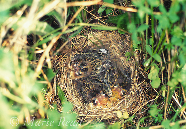 Bobolink (Dolichonyx oryzivorus) nest with three nestlings on the ground in a field, Ithaca, New York, USA<br /> Slide # B163-34