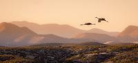 Sandhill Cranes at Bosque Del Apache National Wildlife Refuge in New Mexico.