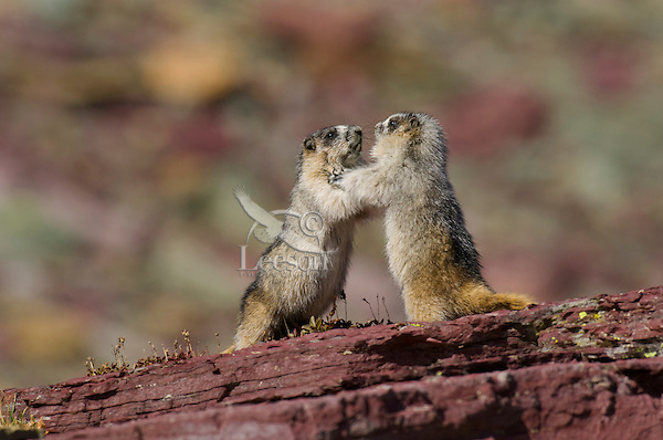 Immature Hoary Marmots (Marmota caligata) play wrestling.  Western U.S., Sept.