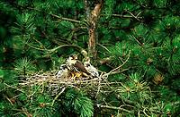 Baumfalke, Baum-Falke, Altvogel mit Küken am Nest, Horst, Falke, Falco subbuteo, northern hobby, Eurasian hobby, hobby, Le Faucon hobereau