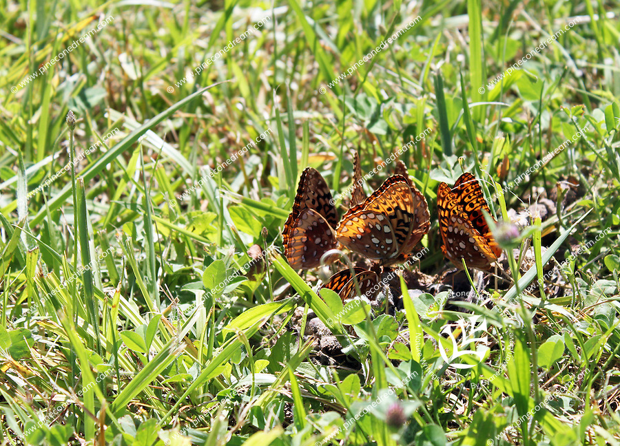 Stock photo: Colony of great spangled fritillary butterflies gathered in grass in a meadow in the great smoky mountains of Tennessee, USA.