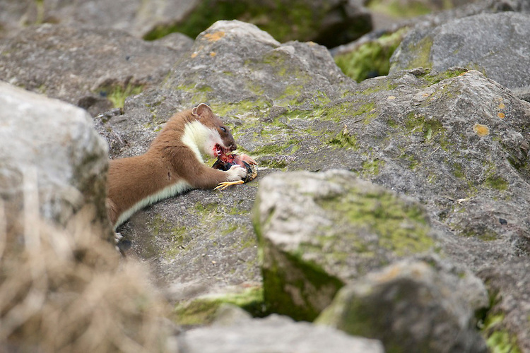 A young Stoat (Mustela erminea) eating a fledgling wader along the north Wales coast line.
