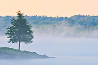 Tree and fog on the Saint John River, Mactaquac Provincial Park, New Brunswick, Canada