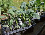 Close up of  seed tray of black kale plant seedlings, Brassica oleracea Lacinato,