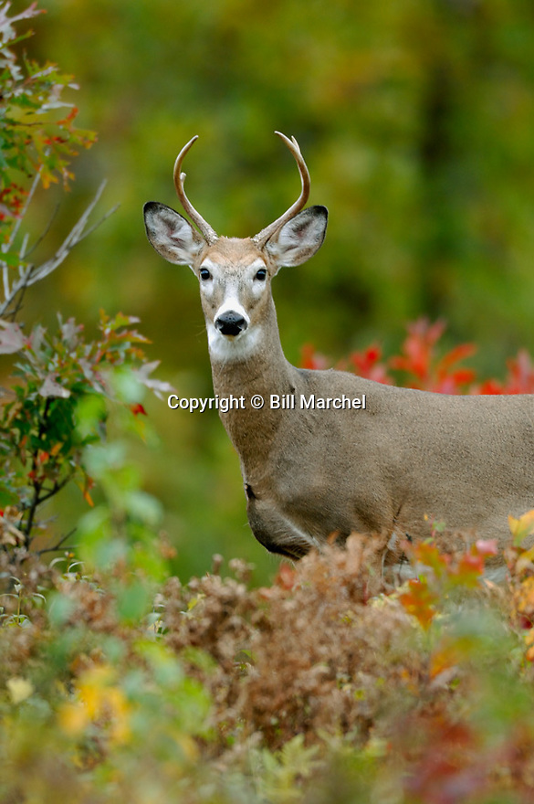 00274-321.07 White-tailed Deer Buck is in overgrown clearcut during peak of fall color.  Hunt, regrowth, logging.  V5F1