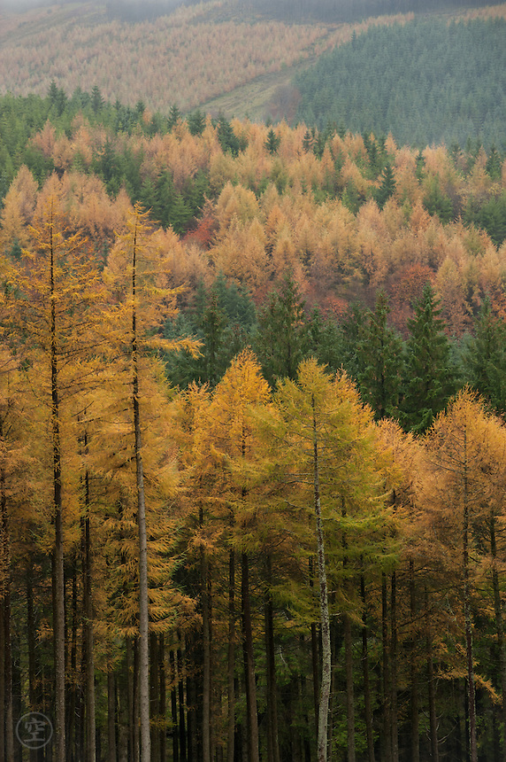 Larch and pine contrast dark green and bright yellow on a cloudy autumn day in the Slieve Bloom Mountains, Ireland.