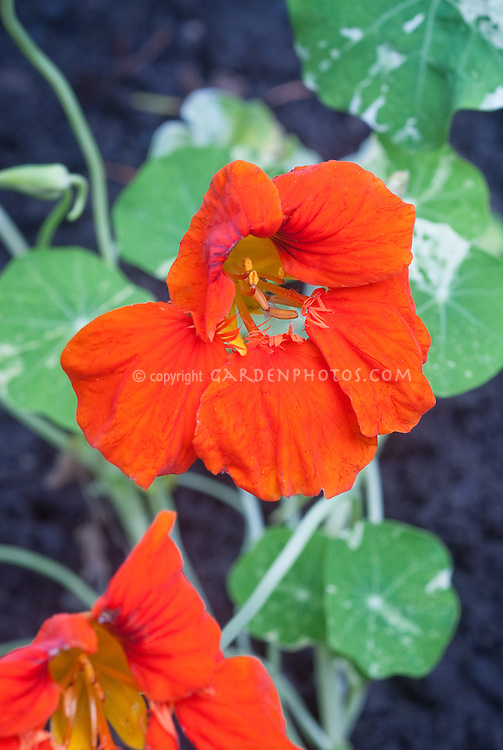 Nasturtium Alaska red-orange flower, annual Tropaeolum variegated leaves, annual flowering climbing vine, close up of blooms
