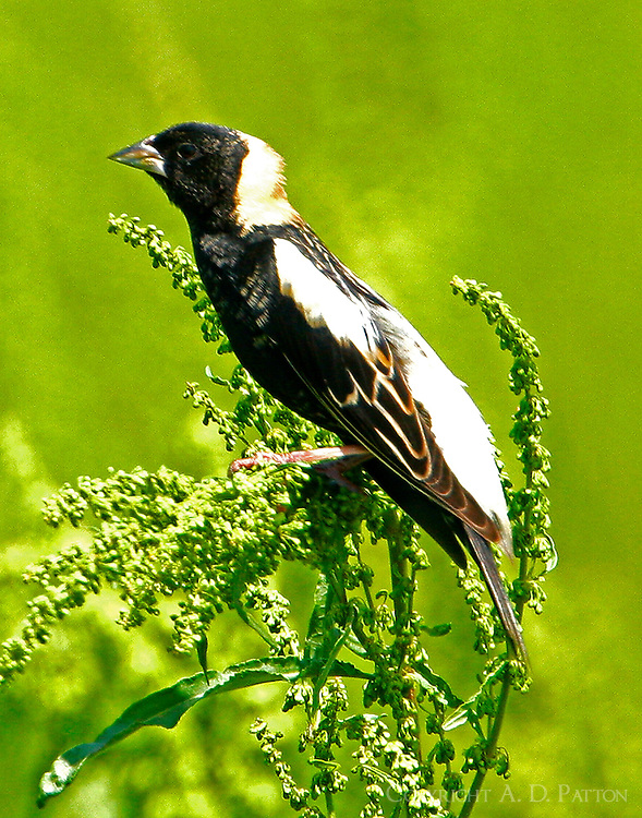 Adult male in breeding plumage on seed head