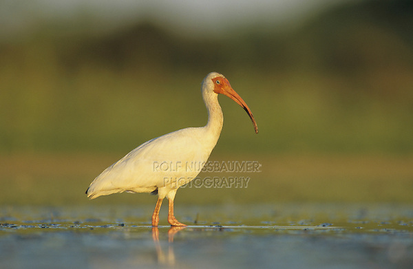 White Ibis, Eudocimus albus, adult, Welder Wildlife Refuge, Sinton, Texas, USA, June 2005