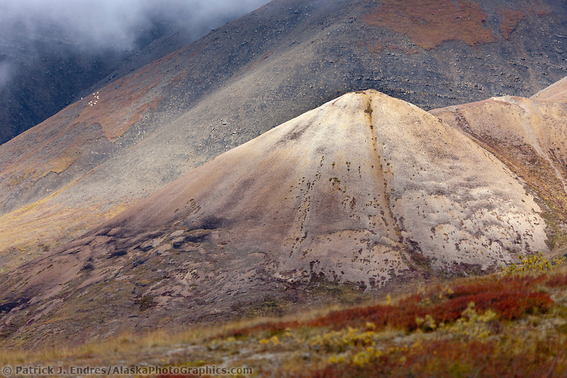 Flock of dall sheep rest on rocky mountain slope of Sable mountain in Sable pass, Denali National park, interior, Alaska.