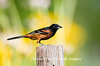 01618-009.20 Orchard Oriole (Icterus spurius) male on fence post in flower garden Marion Co. IL