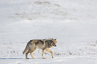 Arctic wolf on the snow covered tundra in Alaska's Arctic.