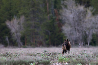 Black wolf of the Pacific Creek pack that roams Grand Teton National Park.