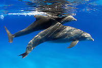 Pregnant female Atlantic Bottlenose Dolphin, Tursiops truncatus