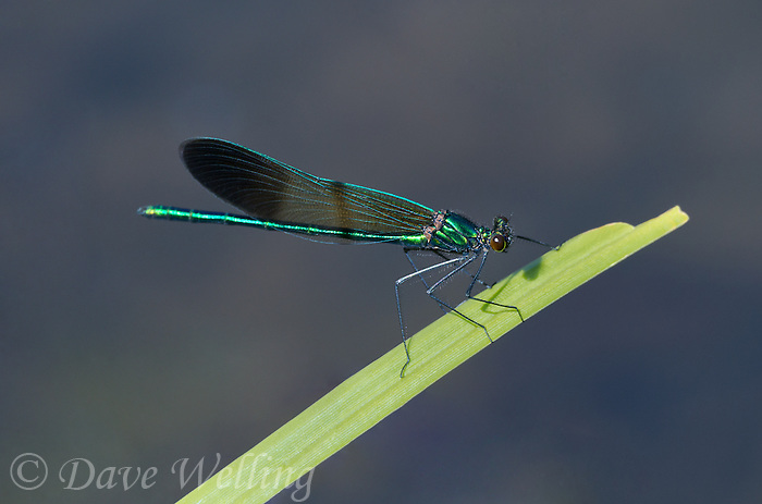 345920005 a wild male river jewelwing calopteryx aequabilis perches on a plant stem over a small river in modoc county california