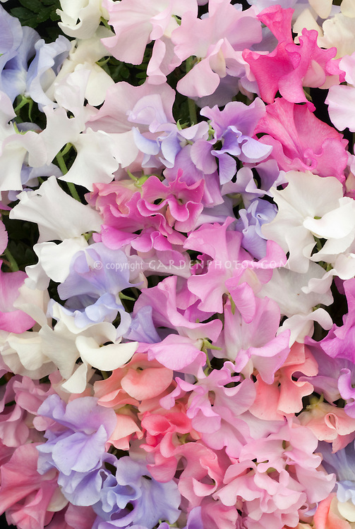 Sweetpeas Lathyrus odoratus Mixed Incense, fragrant annual flowers plants for the fragrance garden
