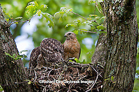 00794-00607 Red-shouldered Hawks (Buteo lineatus) adult and nestlings at nest, Marion Co., IL