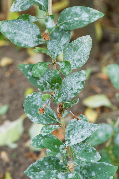 Goji Berry Powdery Mildew Alan Buckingham