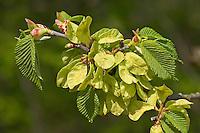Berg-Ulme, Bergulme, Ulme, Weißrüster, Frucht, Früchte, Ulmus glabra, Ulmus scabra, Ulmus montana, Wych Elm, Scots Elm