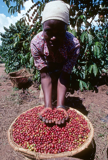 Uganda, Masaka, Misanvu Farm, coffee, coffea, organic, robusta, cherry, cherries, harvest, process, ripe, red, worker, woman, basket, hands