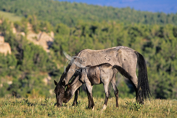 Wild horses--mare with young colt.  Western U.S.,  June..(Equus caballus)
