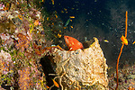 Coral Grouper, red grouper,  Cephalopholis miniata, colorful tropical reefs, healthy reefs, reefscapes, Wide Angle