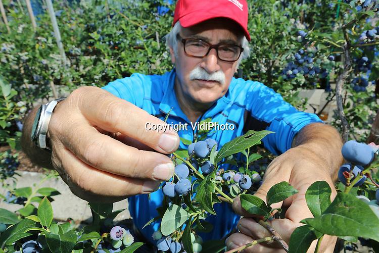 Foto: VidiPhoto<br /> <br /> BEMMEL - Teler Joop Dahm uit Bemmel plukt dinsdag buiten zijn eerste biologische blauwe bessen van het seizoen. De oogst van zijn paar honderd struiken is bestemd voor vaste afnemers en eigen gebruik. De struiken worden voornamelijk gebruikt voor onderzoek door bestuiving met solitaire bijen. De resultaten daarvan worden gebruikt door de grotere telers. Uit de bevindingen van Dahm, co&ouml;rdinator van de vakgroep blauwe bes, blijkt dat bestuiving van de bessenbloesem door wilde bijen tot gevolg heeft dat de bessenstruiken flink meer -en ook grotere- vruchten dragen.