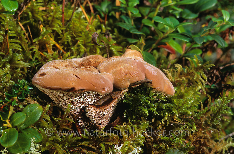 Rotbrauner Korkstacheling, Blutender Korkstacheling, Hydnellum ferrugineum, Hydnum hybridum, Hydnellum pineticola, Mealy Tooth