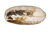 Wrinkled Rock Borer - Hiatella arctica